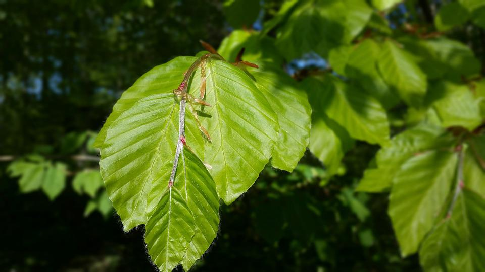 Beech Leaves, Spring, Green, Branch