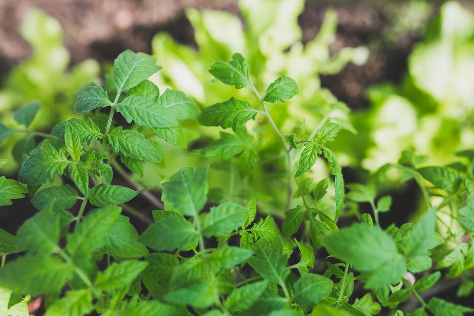 Tomato, Leaves, Plants, Green, Spring, New, Young, Fit
