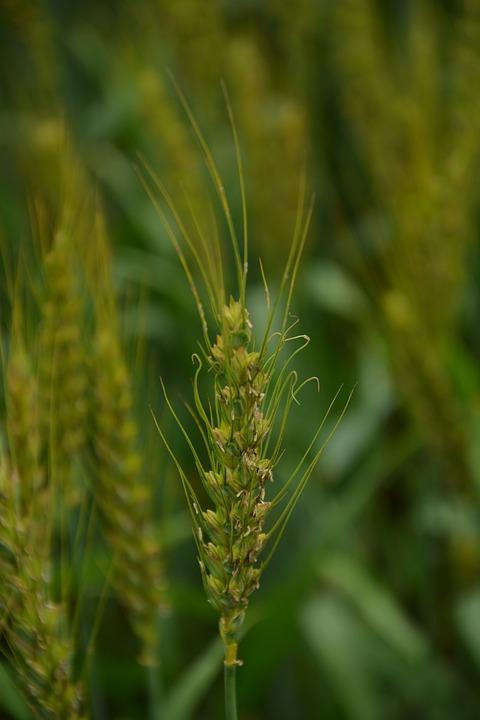 Wheat, Green, Static