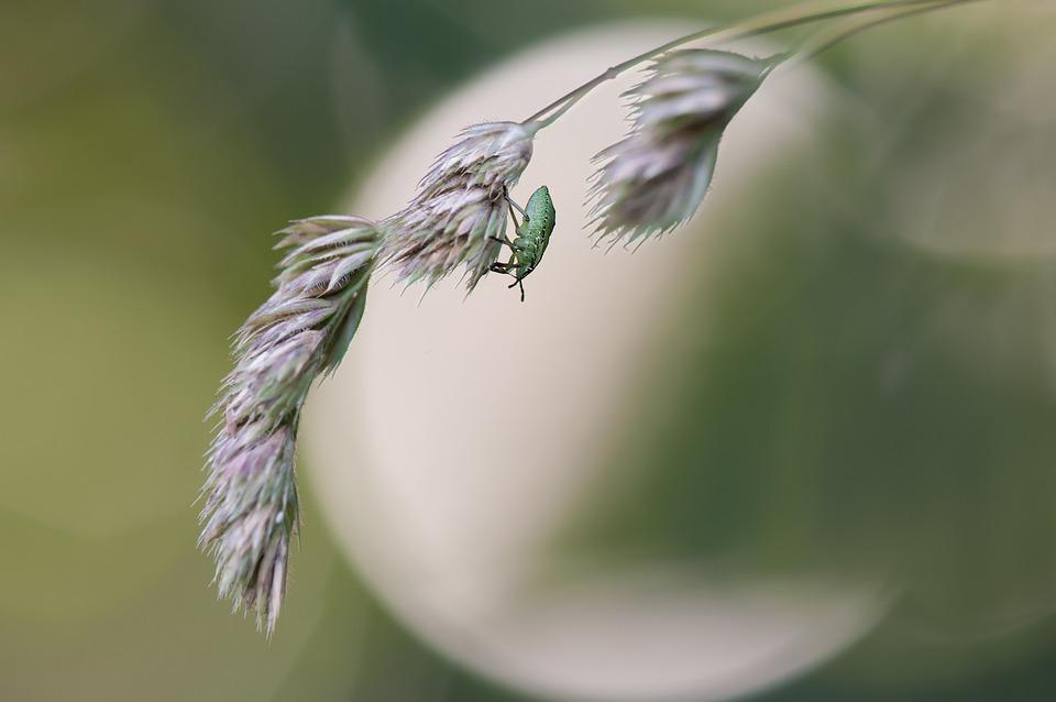 Green Stinkwanze, Larval Stage, Palomena Prasina