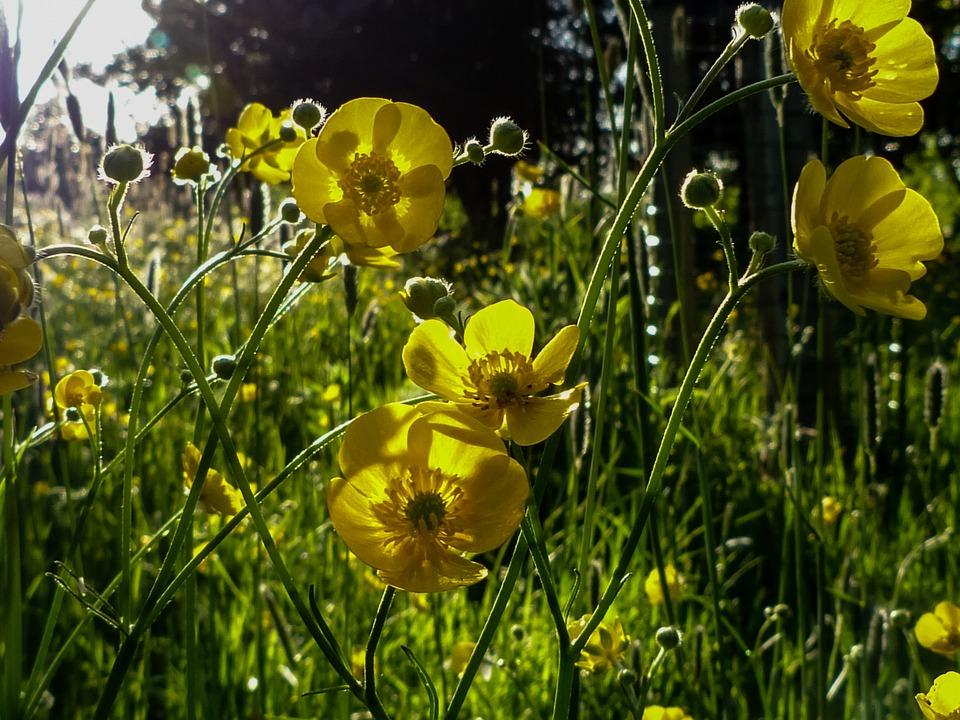 Sunlight, Green, Buttercup, Nature, Summer, Landscape