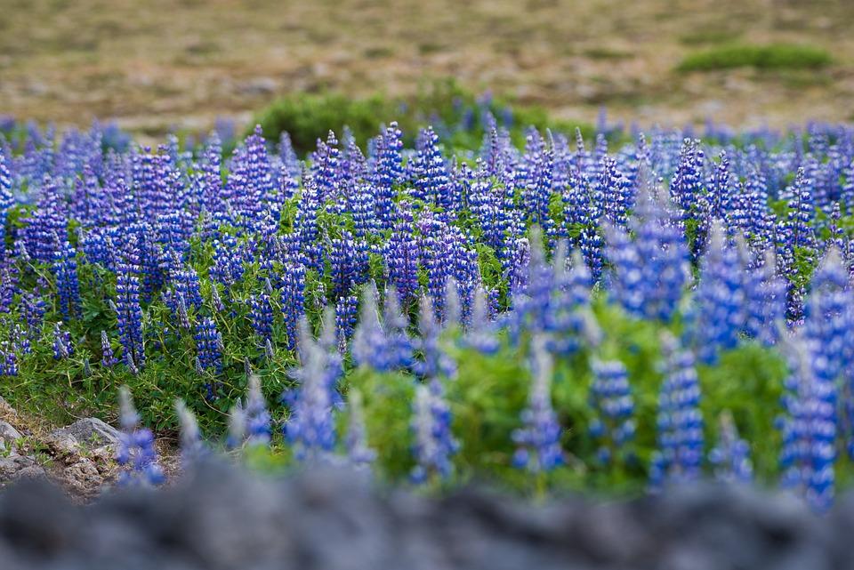 Iceland, Landscape, Nature, Plant, Flowers, Sun, Green