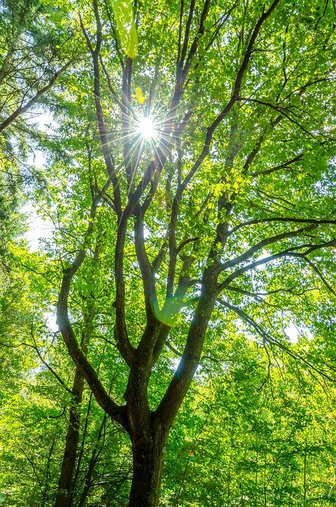 Tree, Sun, Green, Nature, Forest, Summer, Sunbeam