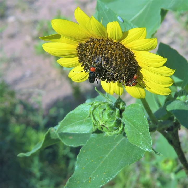 Sunflower, Red Head Insect, Green, Hiking, Insect