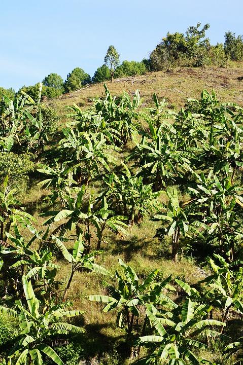 Tea Plant, Tea Cultivation Area, Tee, Green, Mountain