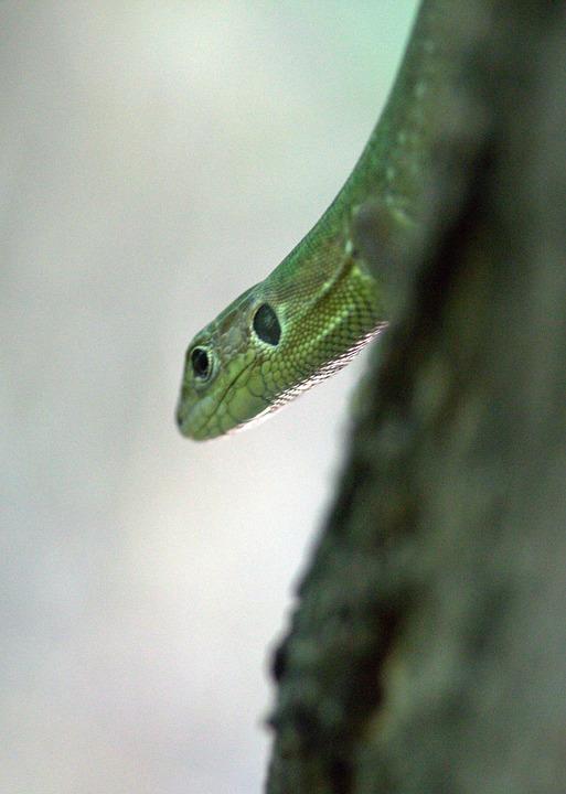 The Lizard, Reptile, Green, Guster