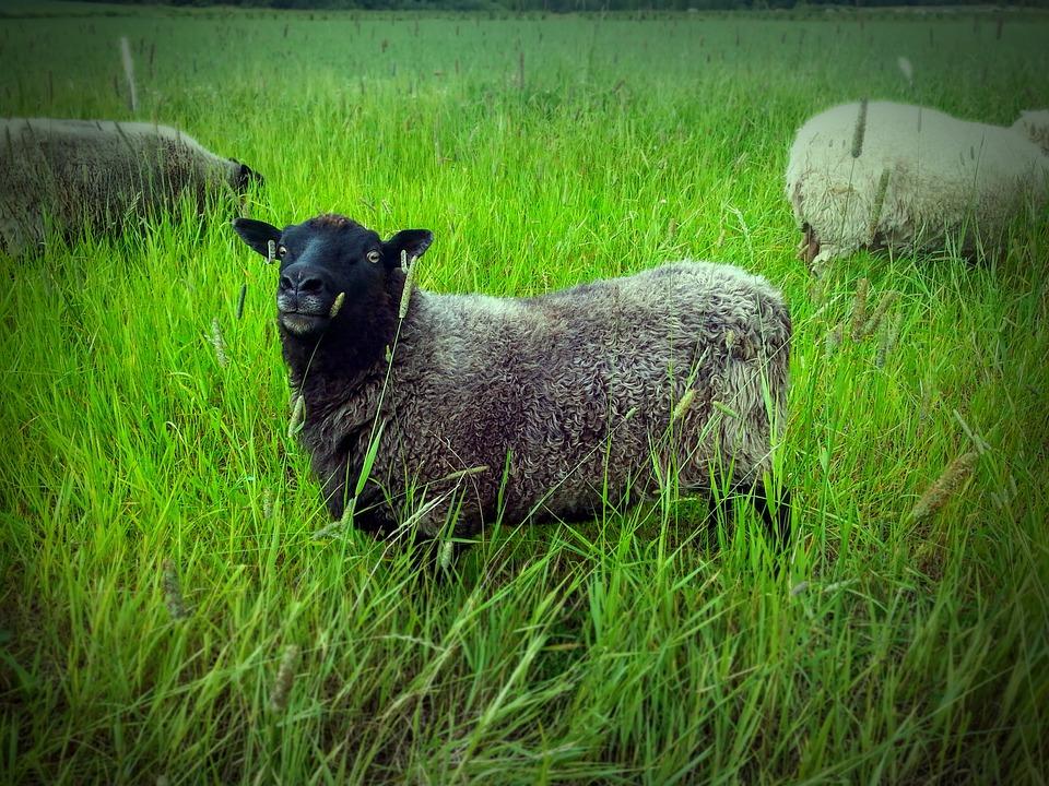 Finland Summer, The Sheep, Green, Field, Hay, Landscape