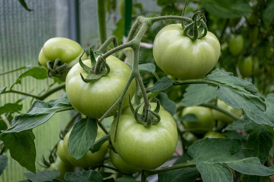 Tomatoes, Green Tomatoes, Food, Unripe, Fruits, Healthy