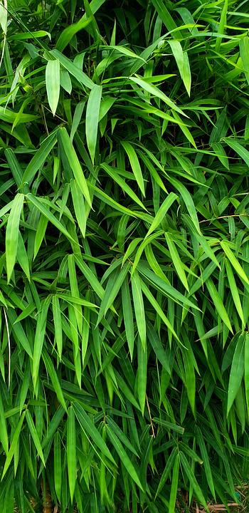 Bamboo, Tree, Nature, Green, Natural