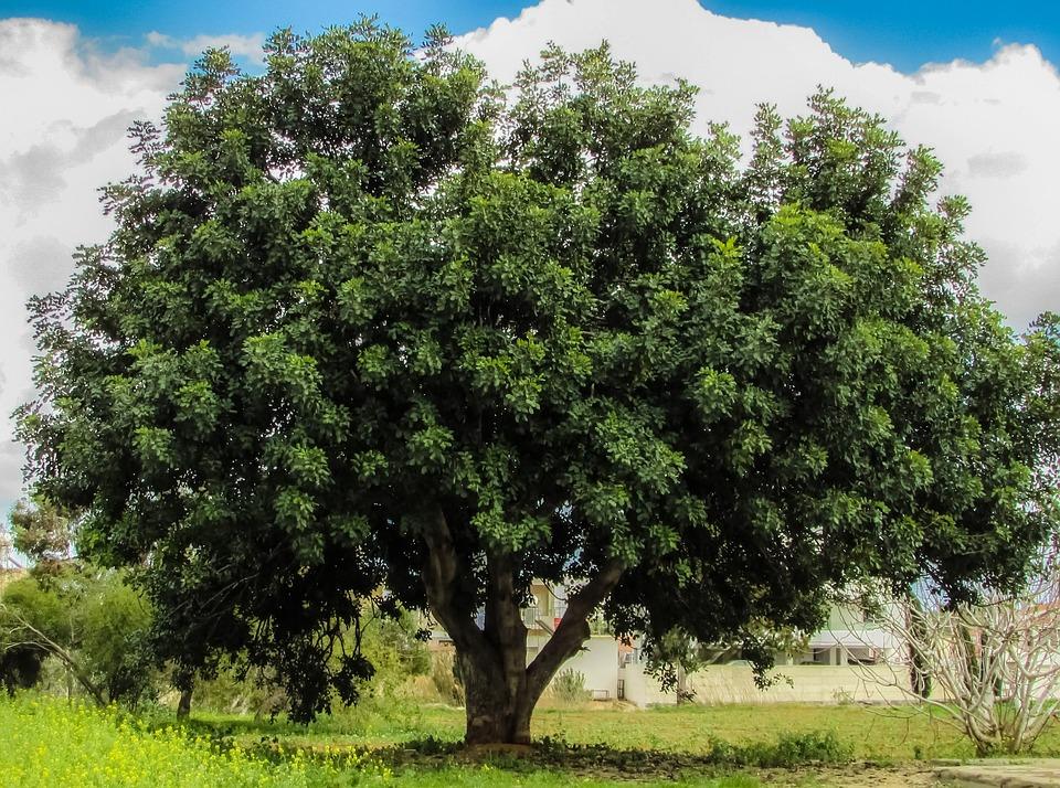 Tree, Field, Meadow, Green, Cyprus, Paralimni