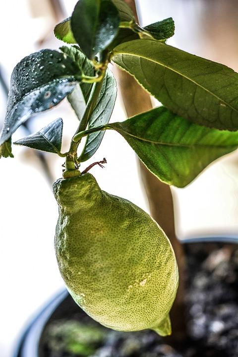 Lemon, Tree, Green, Plant, Agriculture, Food, Citrus