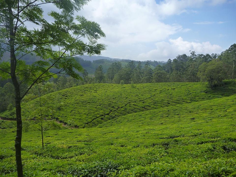 Tea Plantation, Plantation, Landscape, Tree, Green