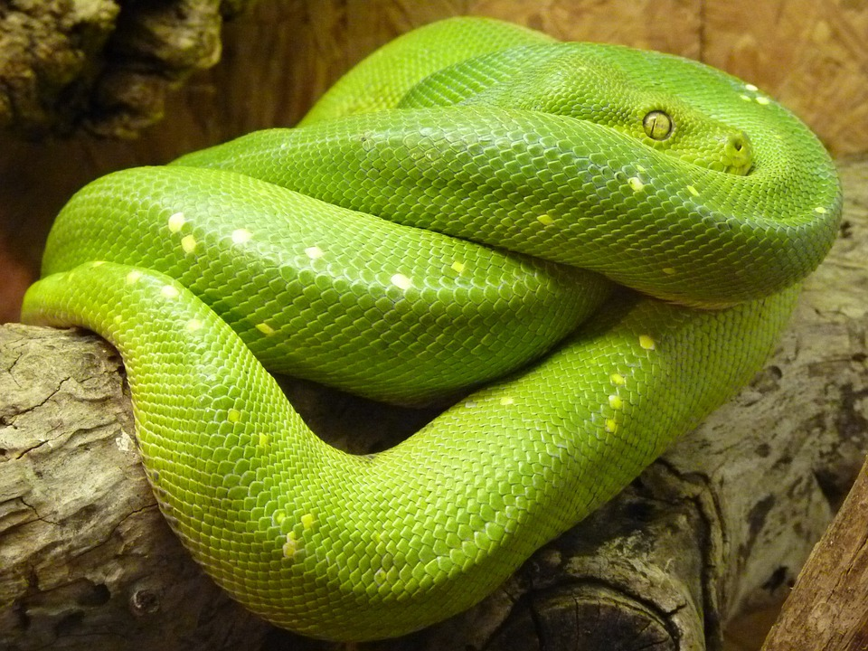 Green Tree Python, Morelia Viridis, Snake, Python