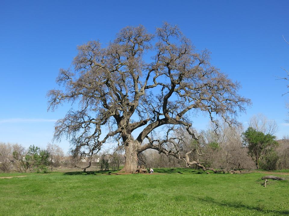 Oak, Tree, Nature, Green, Landscape, Trunk, Grass, Sky