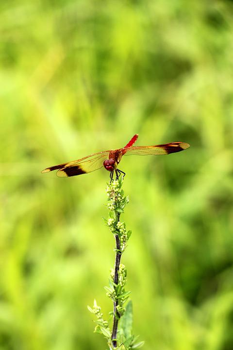 Dragonflies, Green, Trees, Dragonfly, Insects
