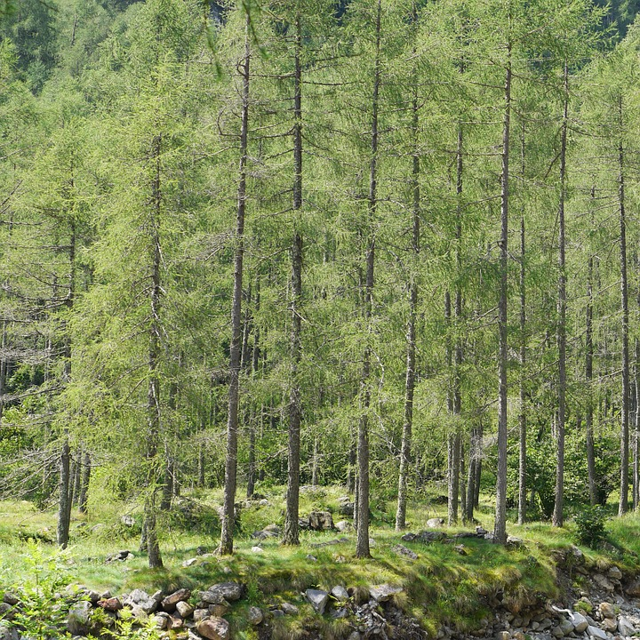 Lark, Lerch Forest, Forest, Ticino, Trees, Green