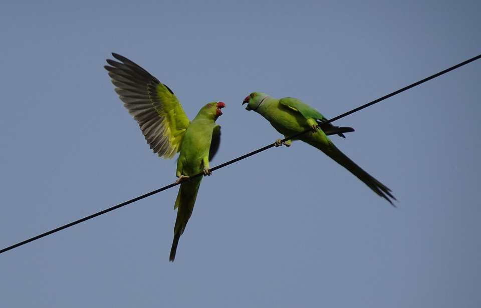 Bird, Parakeet, Pair, Fighting, Green, Tropical, Parrot