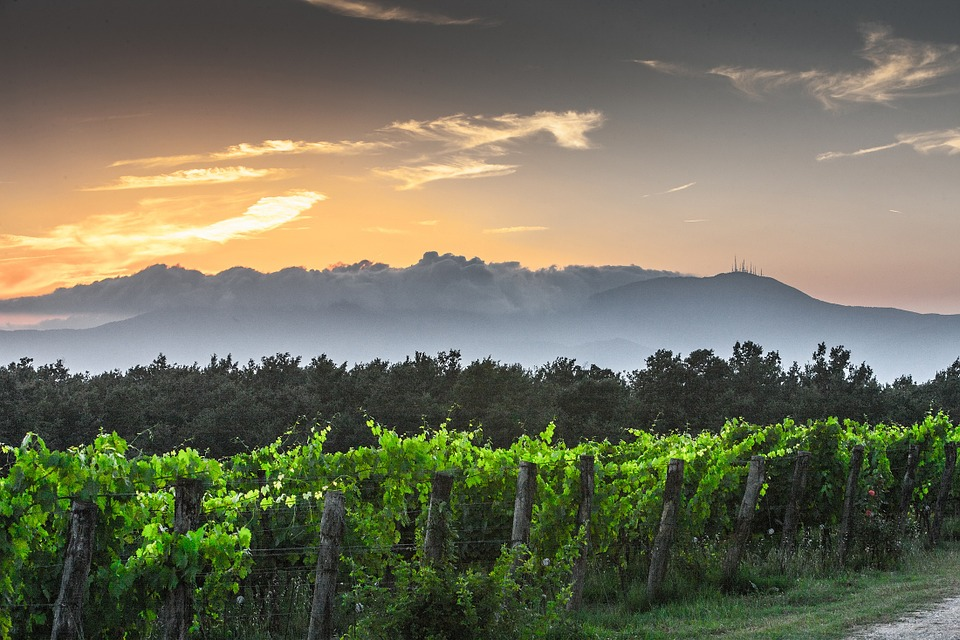 Evening, Tuscany, Grape, Field, Nature, Green, Outdoors