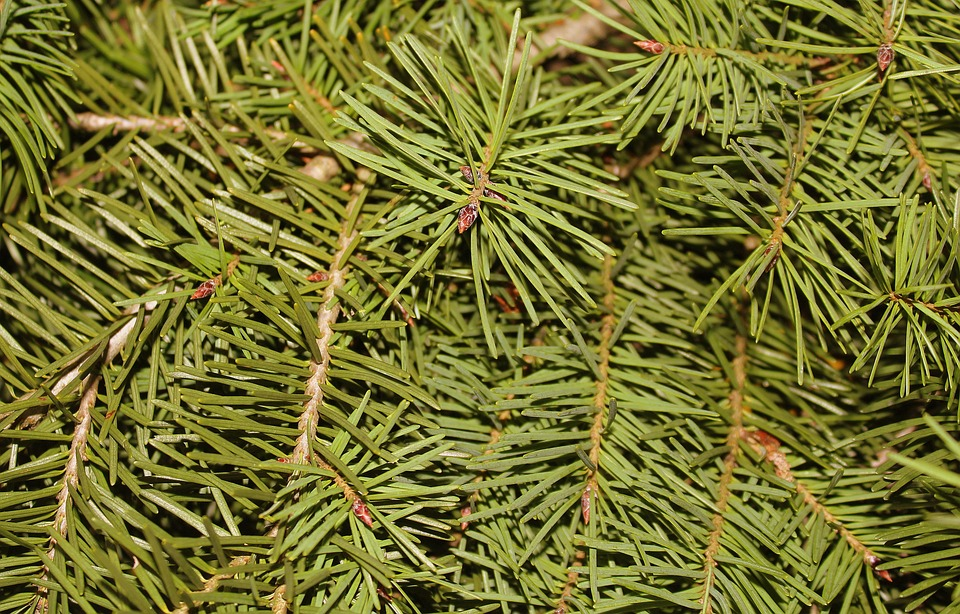 Christmas Tree, Conifers, Iglak, Needles, Twigs, Green
