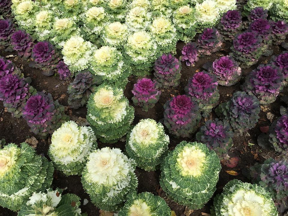 Cabbages, Garden, Plant, Vegetable, Green, Leaf