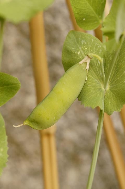 Pea Pod, Pea, Pea Plant, Grow, Vegetables, Green