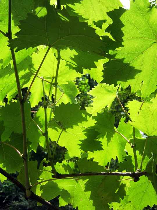 Wine, Vine Leaves, Sunny, Background, Green, Hell