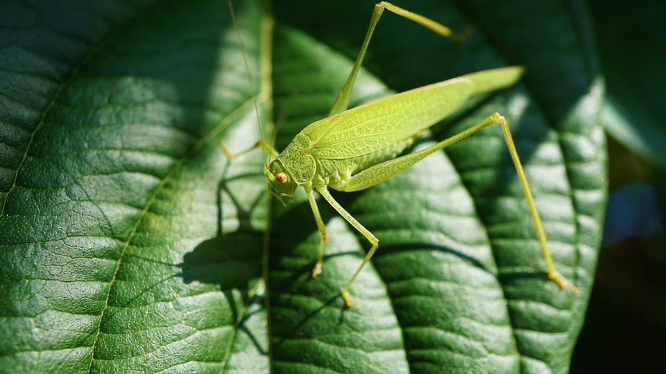 Grasshopper, Viridissima, Insect, Close Up, Green