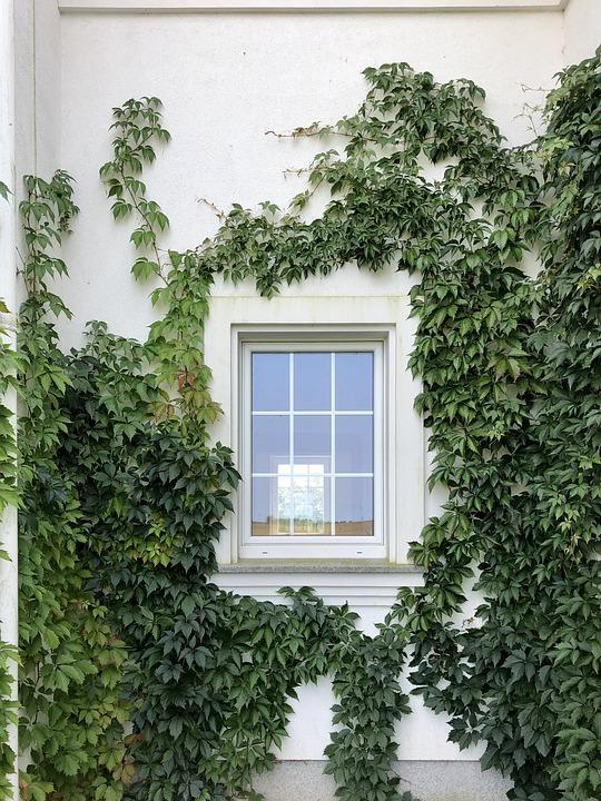 Ivy, Vines, Wall Of The House, Window, Foliage, Green