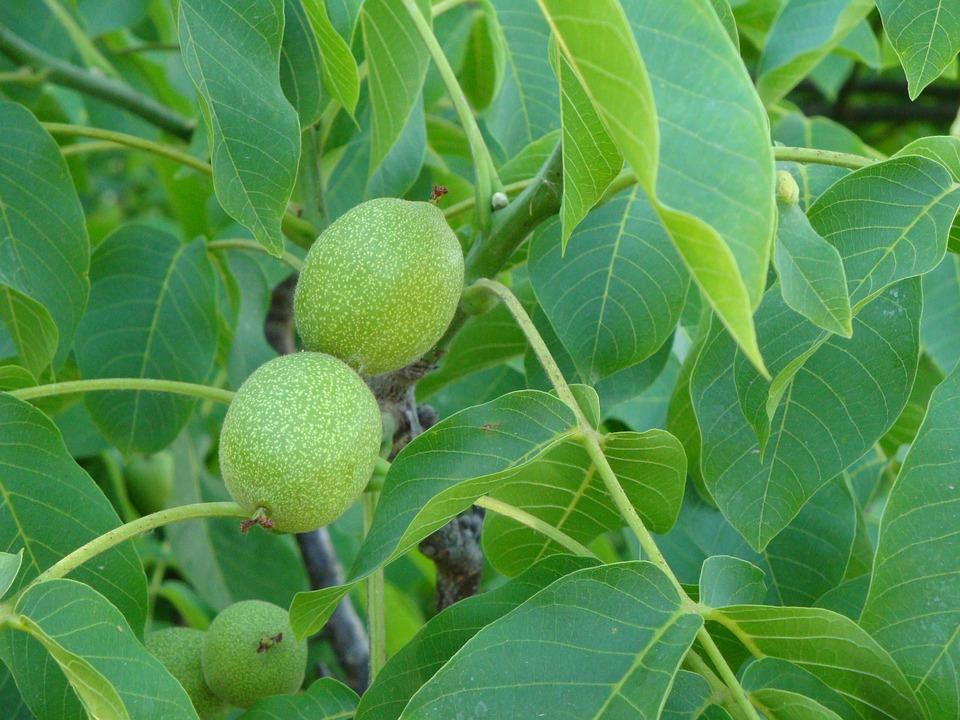 Walnut Tree, Walnuts, Tree, Leaves, Green