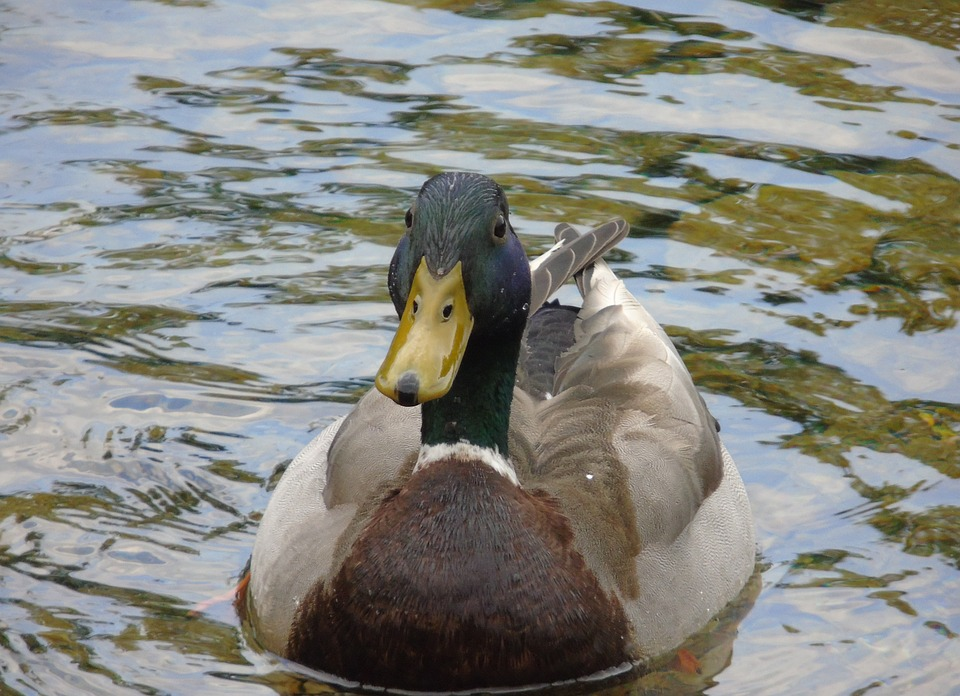 Duck, Mallard, Bird, Wildlife, Nature, Water, Green