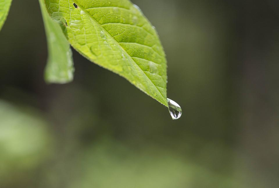 Leaf, Drip, Water, Nature, Rain, Raindrop, Plant, Green