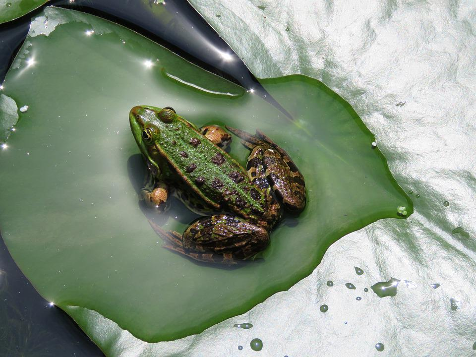 Frog, Water, Sheet, Pond, Animal, Green, Poelkikker