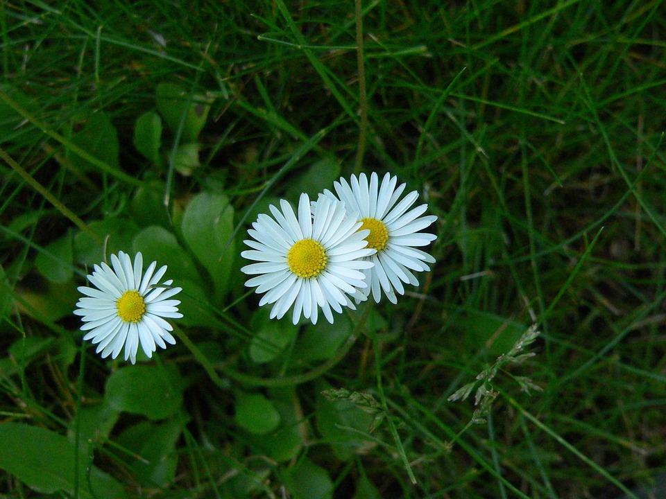 Daisy, Grass, Nature, Blossom, Bloom, White, Green
