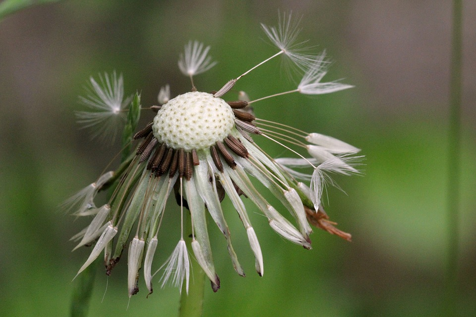 Dandelion, Wet, Green, Nature, Rain, Wild Flower