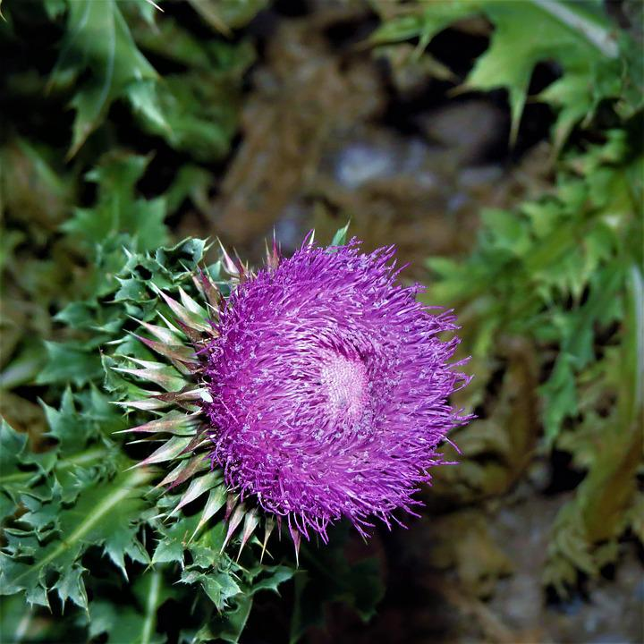 Thistle, Flower, Wild, Weed, Green