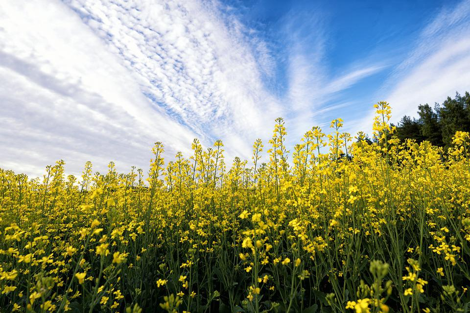 Mustard, Flower, Field, Plant, Nature, Yellow, Green