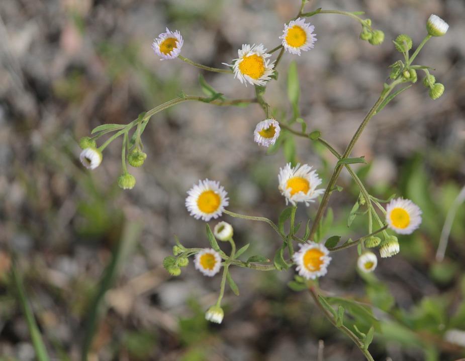 Free photo Green Yellow Oklahoma Weed Flowers Nature White - Max Pixel