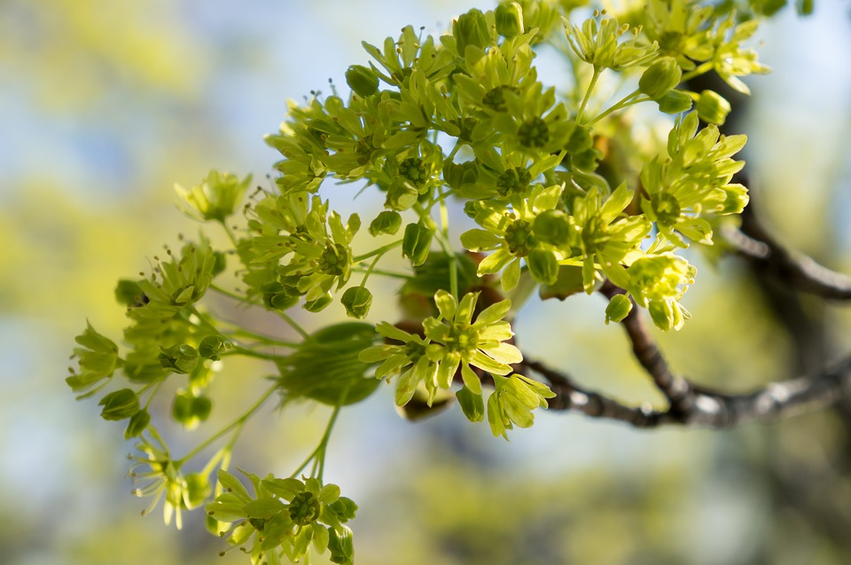 Green, Maple Flowers, Plants, Yellow, Spring, Hope
