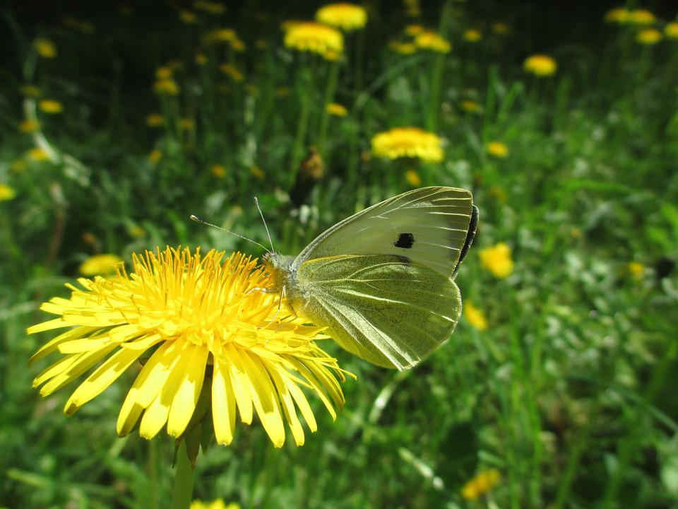 Butterfly, Green-veined White, Insect, Dandelion, White