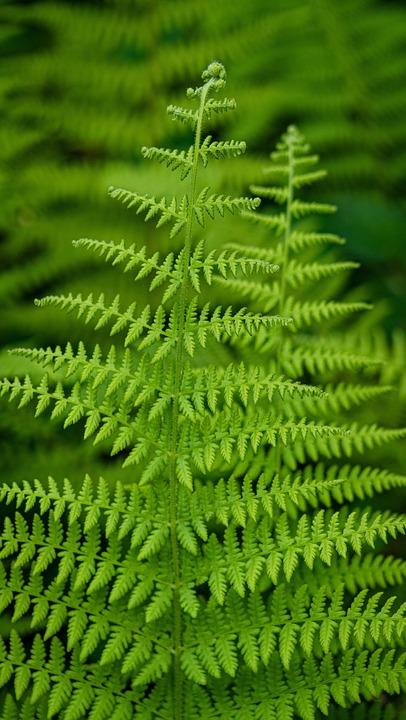 Fern, Leaves, Greenery, Foliage, Green Leaves