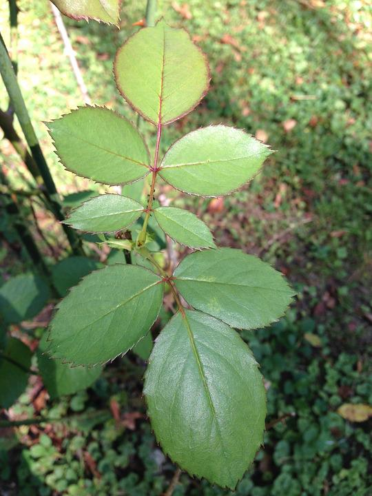 Rose Leaves, Leaves, Foliage, Greenery, Garden, Plant
