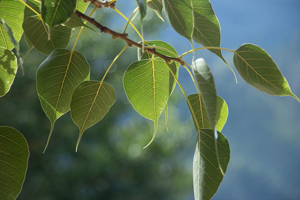Leaves, Branch, Tree, Foliage, Greenery, Sacred Fig
