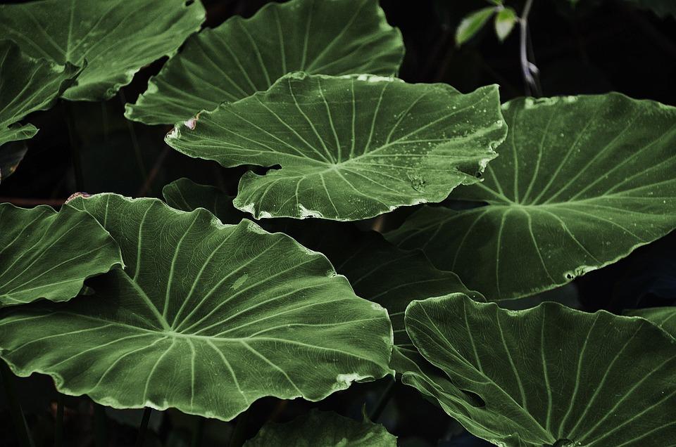 Leaves, Plant, Lotus Leaves, Foliage, Greenery