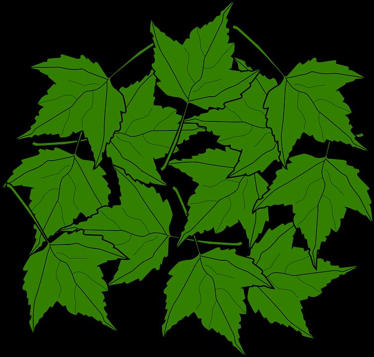 Maple, Fall, Leaves, Nature, Autumn, Foliage, Greenery
