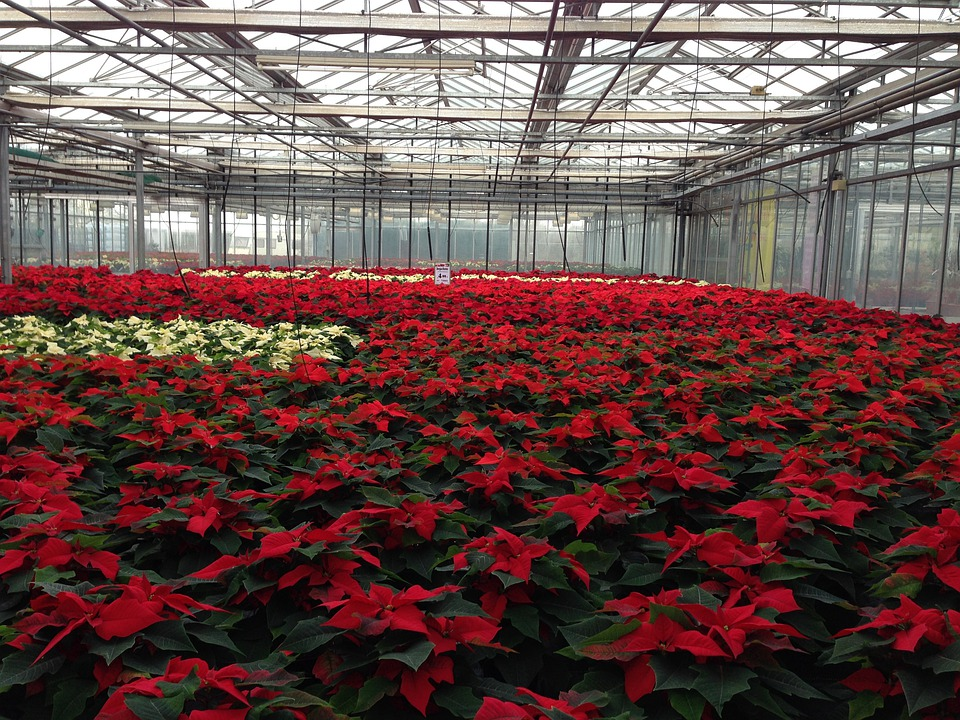 Poinsettia, Rearing, Plant, Greenhouse, Winter, Nursery