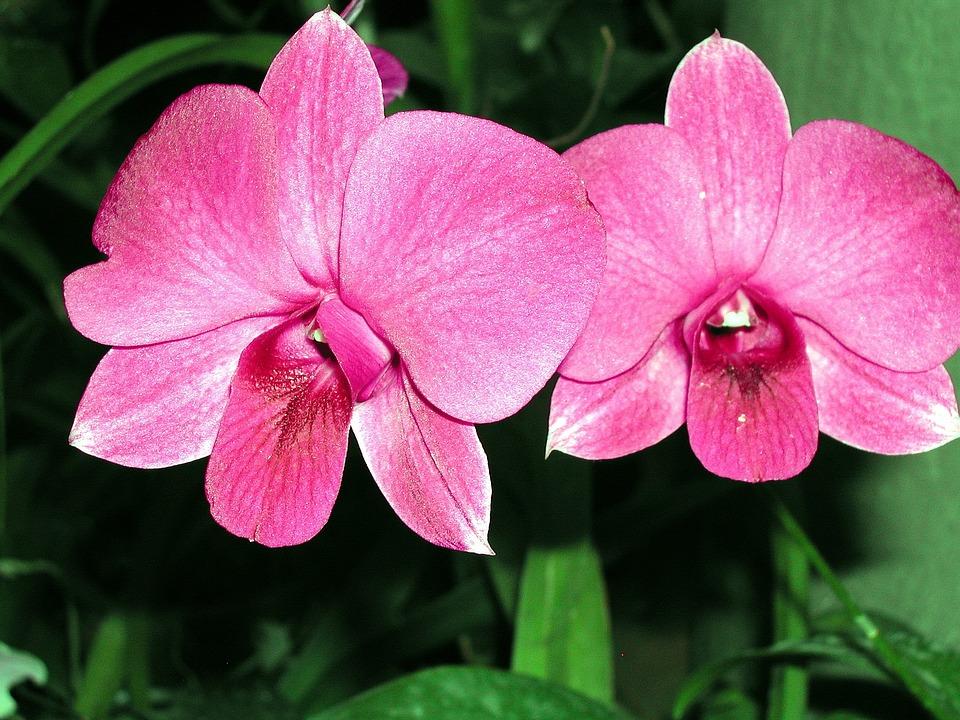 Sri Lanka, Orchids, Greenhouse, Flowers