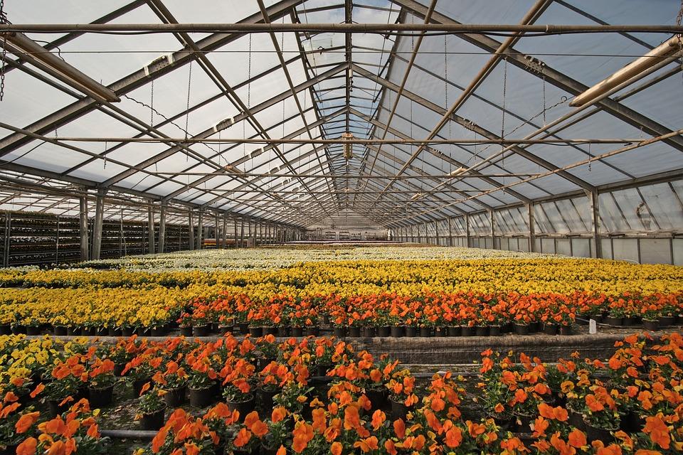 Greenhouse, Nursery, Flower Bed, Flowers, Violet, Pansy