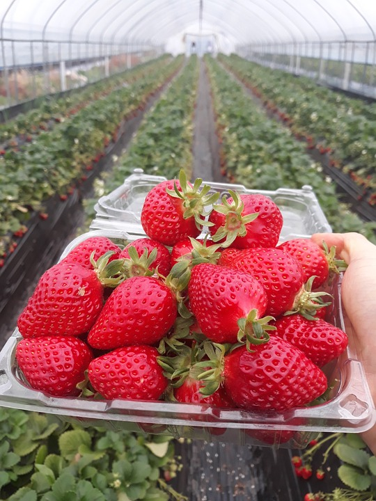 Strawberry, Greenhouse, Vinyl Greenhouse