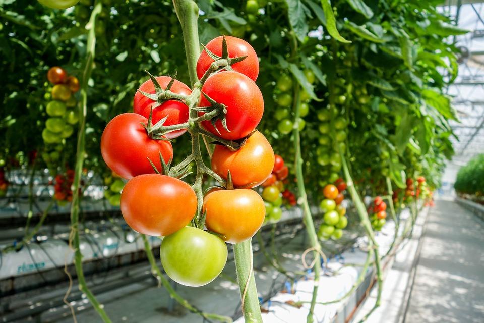 Tomato, Greenhouse