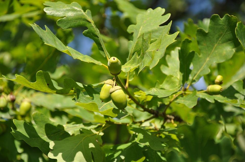 Oak, Acorn, Greens, Park, Tree, Leaves, Garden